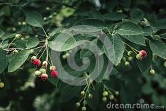 einige-juneberries-118810591